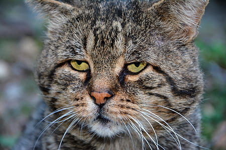brown tabby cat focus photography