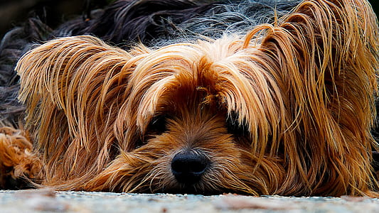 closeup photo of tan and black Yorkshire terrier