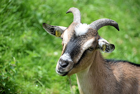 black and brown goat near grass field