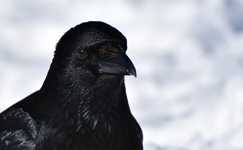 close-up photography ofg black crow