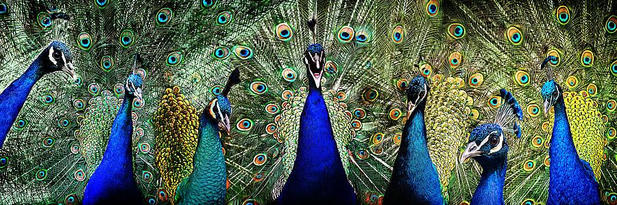seven blue peacocks