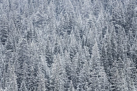 pine trees covered by snow
