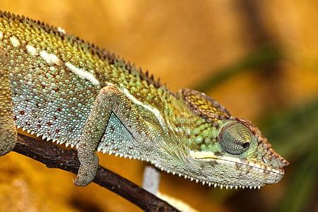 Green and Gray Chameleon