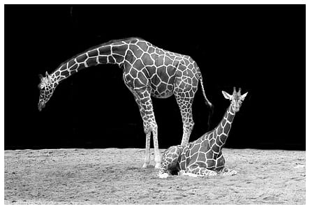 photo of two giraffes