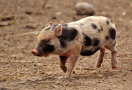 white and black piglet running