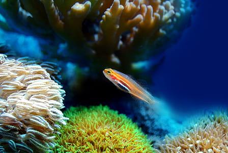 orange cichlid