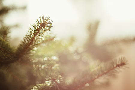 selective focus photography of pine tree leaf