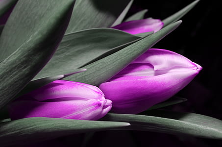 closeup photography of purple tulips
