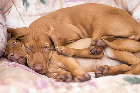 two medium short-coated tan puppies laying on sofa