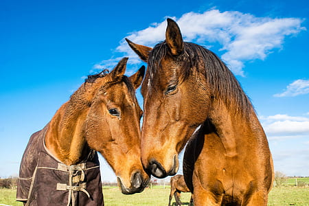 two brown horses on green grass field during daytime