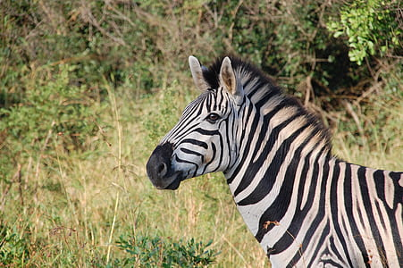 zebra surrounded by green bush