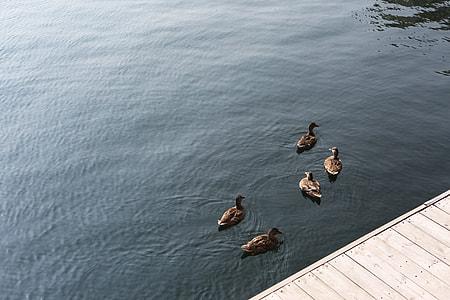 five female Mallard Ducks near boardwalk