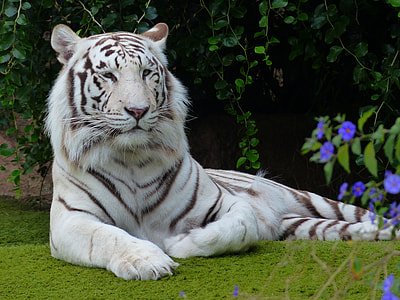 white tiger prone lying on sod