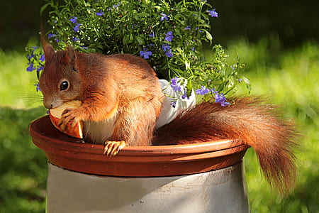 brown squirrel eating cheese on white and brown pot