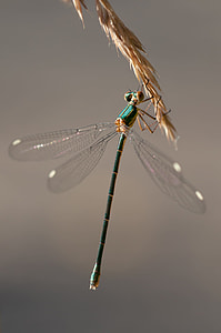 blue damselfly perched on brown leaf closeup photography