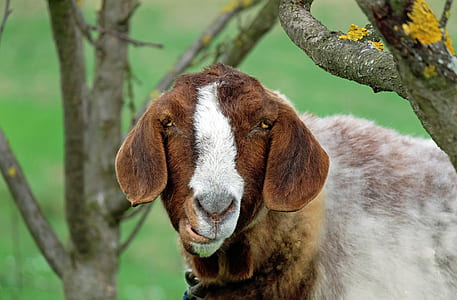 close up photo of goat near tree