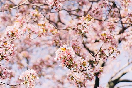 Boston cherry blossom tree 1/2
