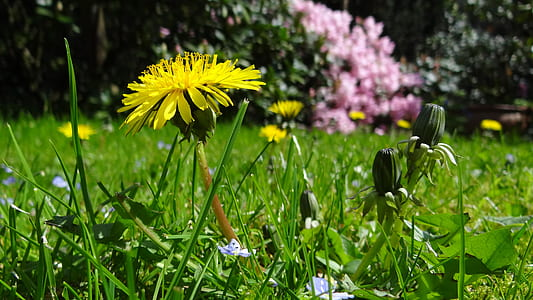 meadow, dandelion, garden, plant, yellow, pointed flower