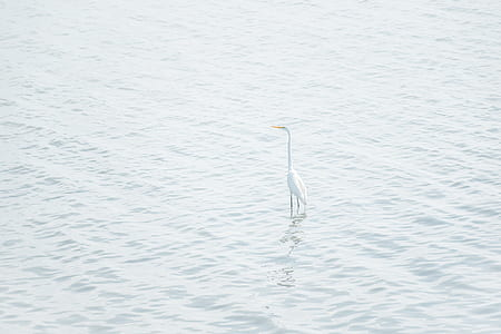 great egret on body of water