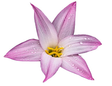 closeup photography of pink lily with dewdrops
