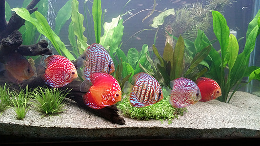 school of discus fishes