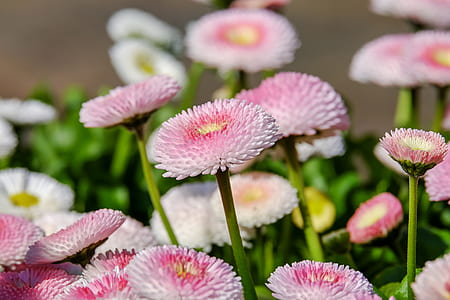 white and pink bellis flowers in closeup photo