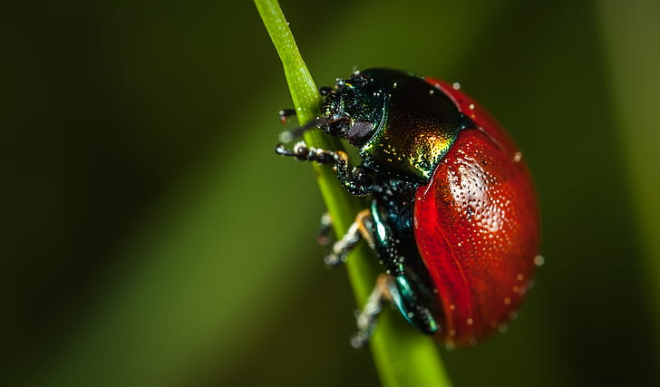 red chafer beetle