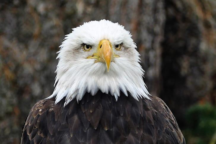 closeup view of bald eagle