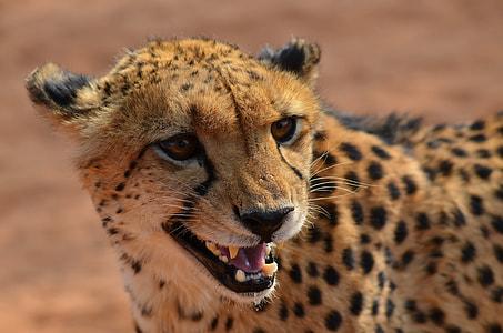 brown and black cheetah