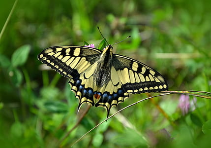 Eastern tiger swallowtail butterfly on pink petaled flower