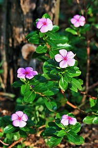 pink periwinkles closeup photo