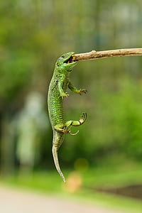 green lizard bitting on stick