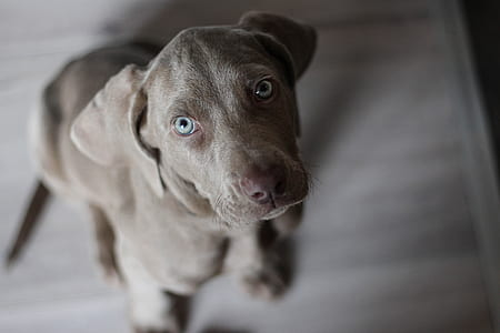closeup photo of blue Weimaraner puppy