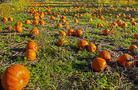 pumpkin field at daytime