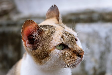 closeup photograph of white and beige cat