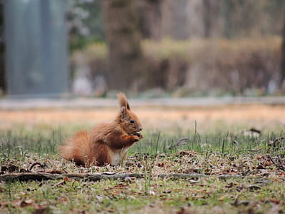 brown squirrel standing on green grass