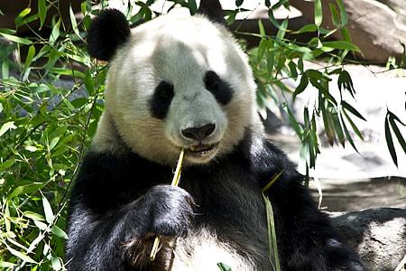 panda earing bamboo