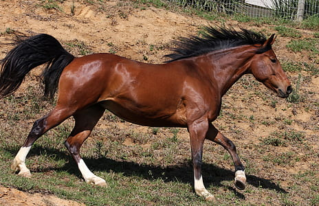 brown horse galloping