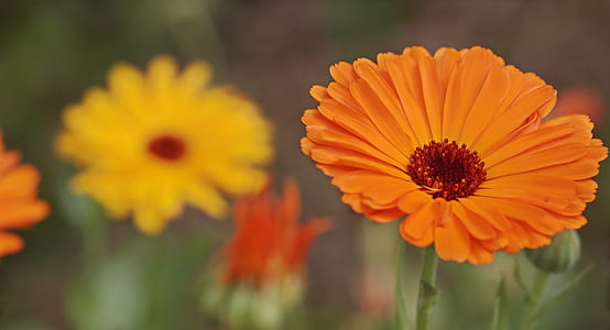 closeup photography of orange Gerbera daisy