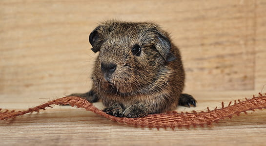brown and black rodent