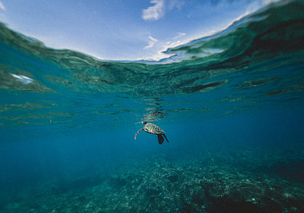 underwater photography of black tortoise