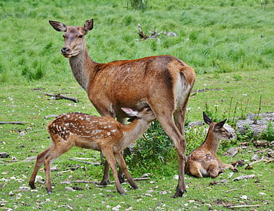 brown deer and two cubs on green grass field