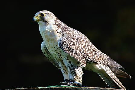 white and brown falcon