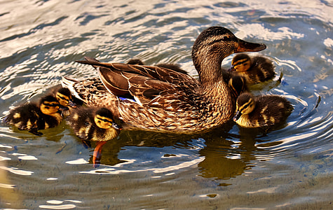 five brown ducklings swimming near brown duck on body of water at daytime