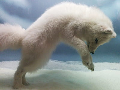 white fox taxidermy