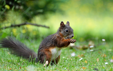 red squirrel on grass