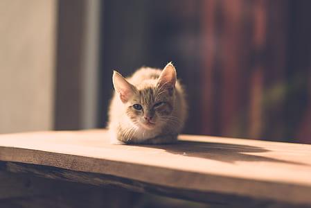 orange Tabby kitten on brown wooden board
