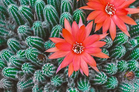 red cactus flowers in closeup photo