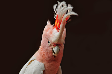 pink and white cockatiel