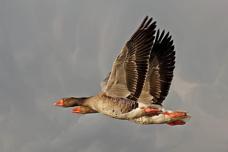 two flying mallard ducks